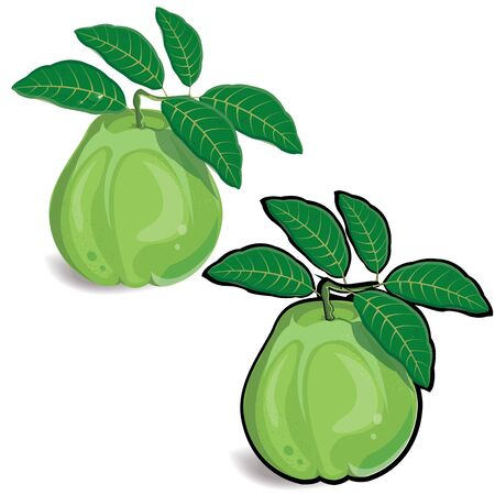 guava fruit: guava fruit illustration on white background.