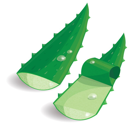 aloe vera plant: illustration Aloe Vera on whitevector