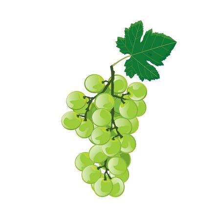 white grape: illustration grape green on white background