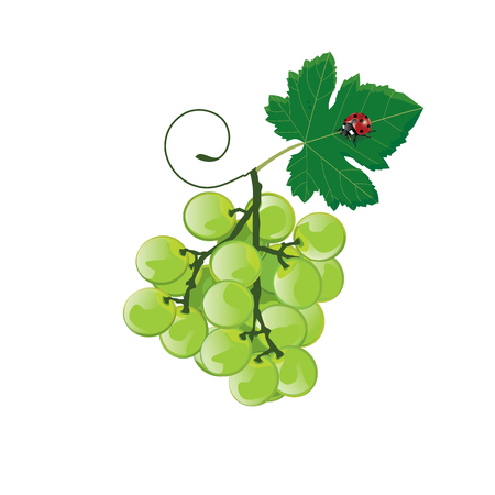 wine growing: illustration grape green on white background