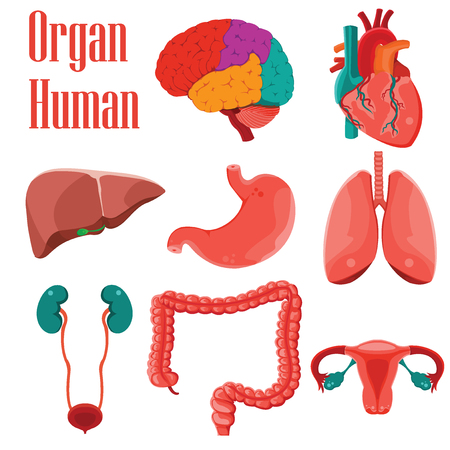 Human organs colorful  icon set cartoon on white background, Vector illustration Ilustrace