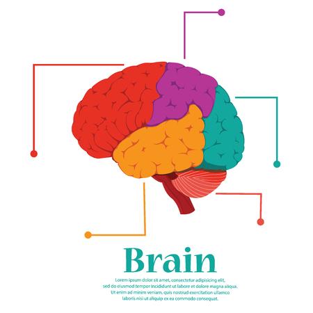 Brain colorful human for medical design. Illustration