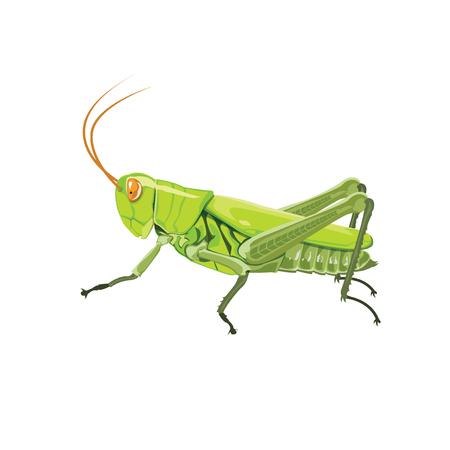 Grasshopper color green.  イラスト・ベクター素材