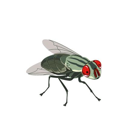 House fly, vector illustration.