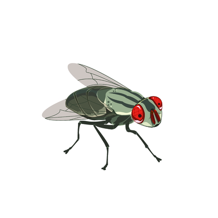 House fly, vector illustration.
