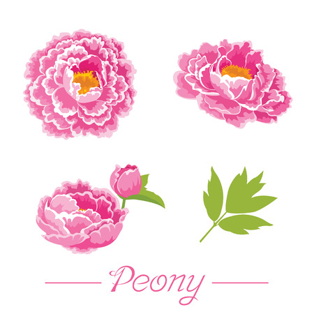 Peony flower Stock Illustratie