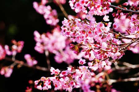 Cherry blossoms (sakura)  Stock Photo - 11801421