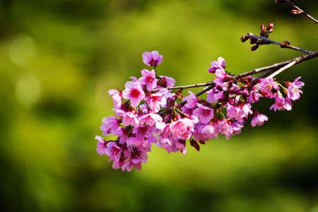 Cherry blossoms (sakura)  Stock Photo - 11801420