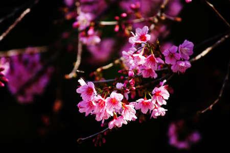Cherry blossoms (sakura) Stock Photo - 11801400