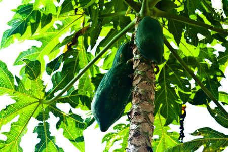 Papayas hanging from the tree  Stock Photo - 13835770