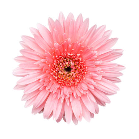Pink Gerbera flower isolated on white background Stock Photo - 14877797
