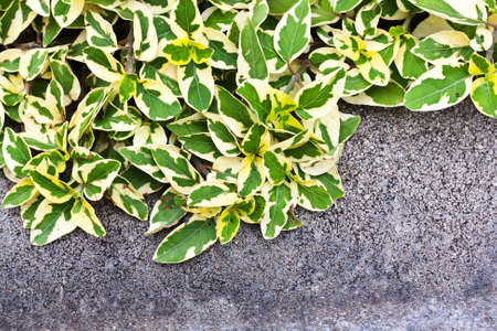 Ivy leaves on grunge concrete wall with space used for background