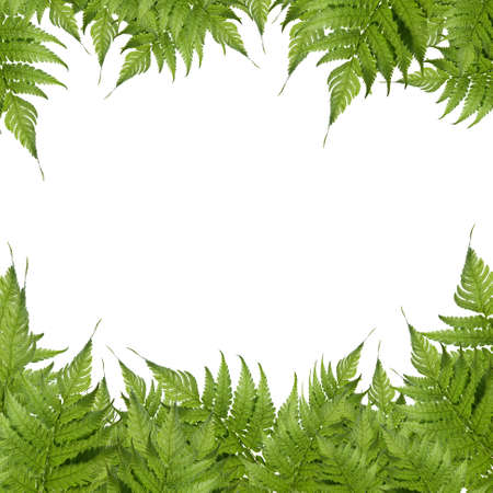 ferns: Green leaf isolated on a white background