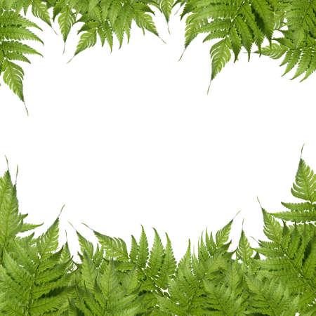 helechos: Hoja verde aislado en un fondo blanco