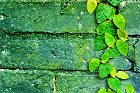 Ivy leaves on grunge concrete wall with space used for background photo