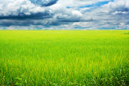 Rice field green grass blue sky cloud cloudy landscap Stock Photo - 14976507