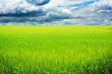 Rice field green grass blue sky cloud cloudy landscap Stock Photo - 14976507