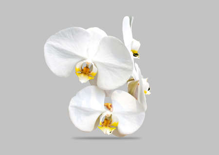 White orchid isolated   photo