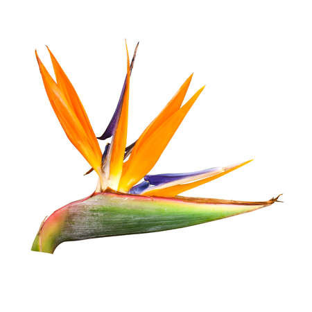 bird of paradise flower  isolated on white background with clipping path Stock Photo - 15012844