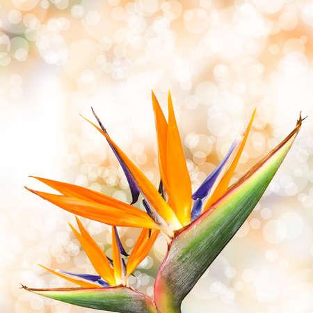 bird of paradise flower with bokeh
