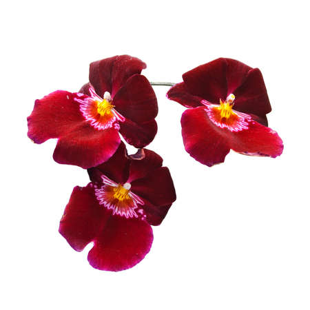 Orchid isolated on a white background with Clipping path Miltonia Patricia Ann  photo