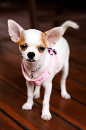 Chihuahua dog photo