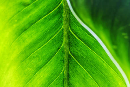 Green leaf texture with leaf foreground photo