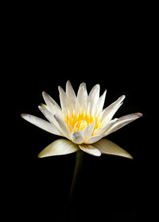 water lilly isolated on black background photo