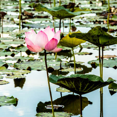 The Lake of water lily photo