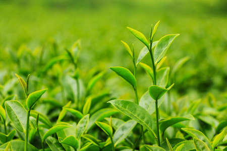 Fresh tea leaves in plantation