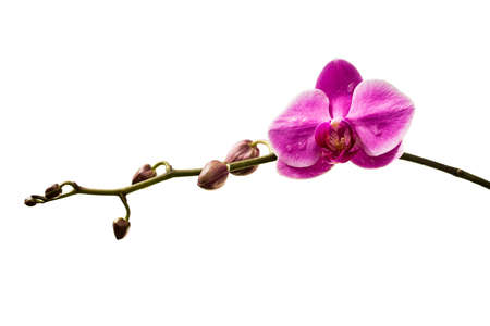 Orchid isolated photo