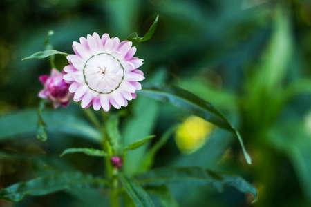 daisys: Bracted Strawflower,Paper Daisy,Everlasting Daisy