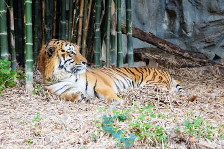 calming: Tiger is calming and relaxing in the zoo.