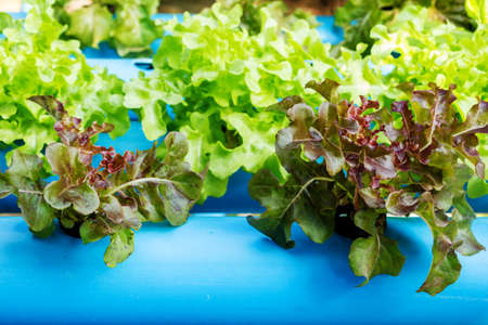 hydroponic: Hydroponic vegetable in farm Stock Photo