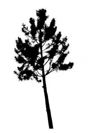 pine tree silhouette: pine tree silhouette on white background