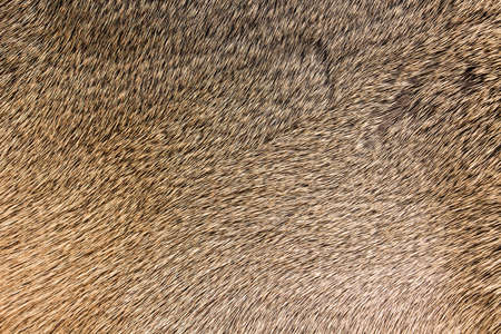 fur: High quality of natural brown fur texture background Stock Photo