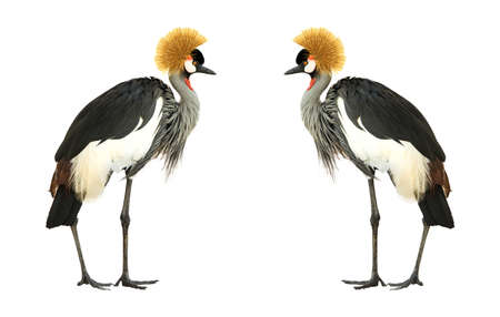 Grey Crowned Crane isolated on white background.