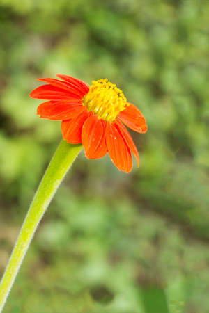 Close up orange zinnia flower with bokeh background