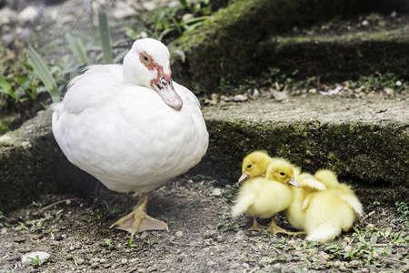 Close up ducks famiry in farm.