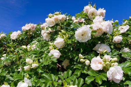 bush of white roses on blue sky background photo