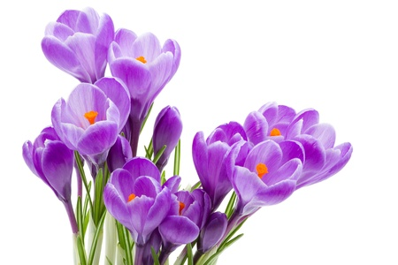 spring flowers, crocus, isolated on white photo