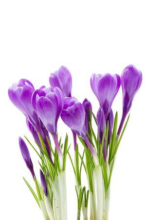 krokus: voorjaarsbloemen, krokus, geïsoleerd op wit