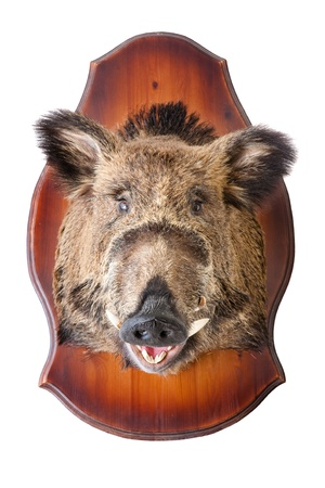 stuffed wild boar head on white, taxidermy photo