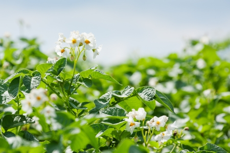 potato leaves: blooming potato field