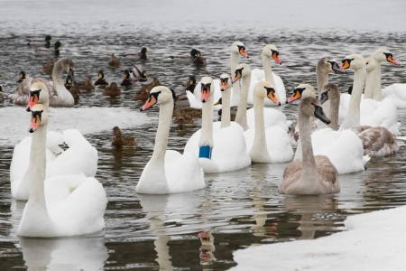 wintering: Swans and ducks on the river in the cloudy winter day