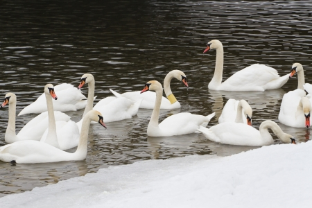 wintering: Swans on the river in the cloudy winter day
