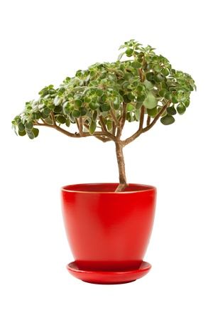 crassula ovata: jade money tree  Crassula ovata  in red flowerpot