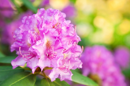 english rose: Rhododendron flowers