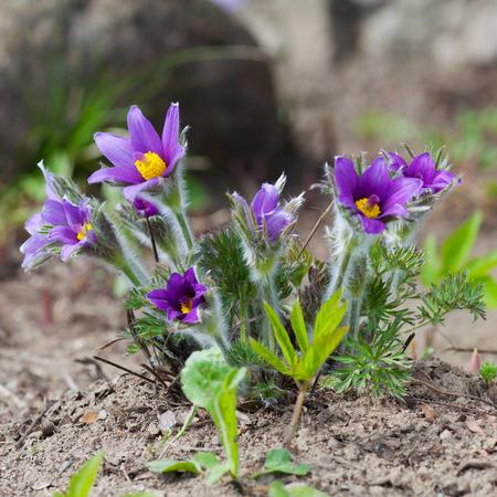 Prairie Crocus, spring pasque flower Stock Photo - 23070837