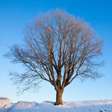 Single winte tree on blue morning sky photo